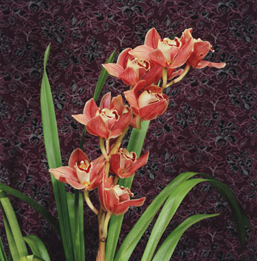 Bronze Cymbidium